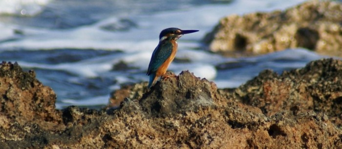The island Kythera - Alcyone, the kingfisher, on Kythera
