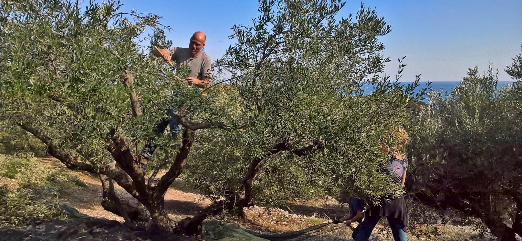 Olive picking weeks