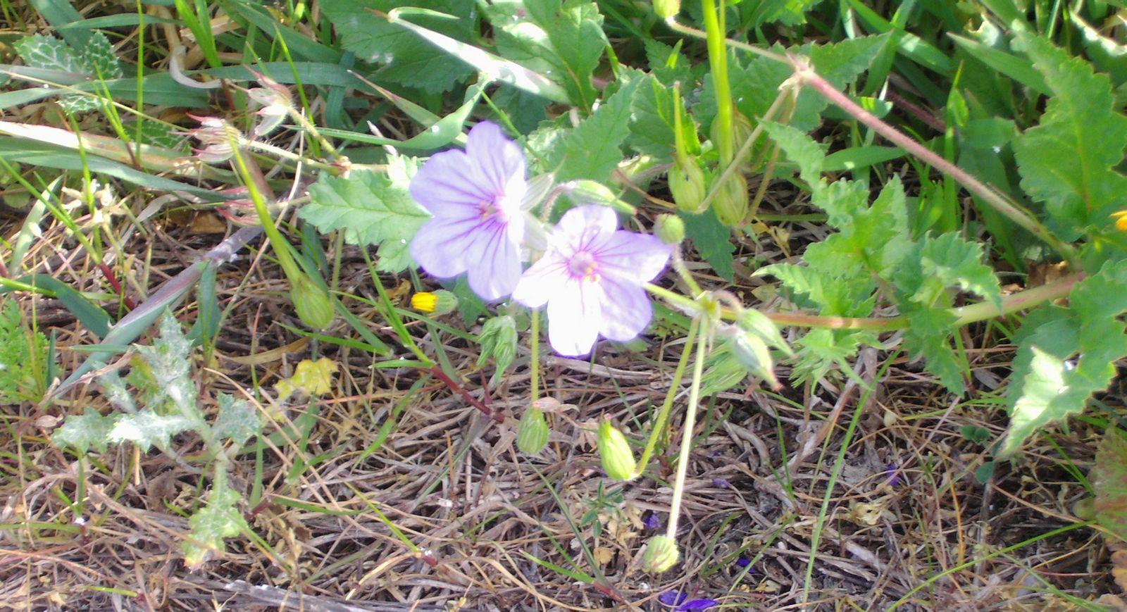 Wild flowers of Kythira (246)-min