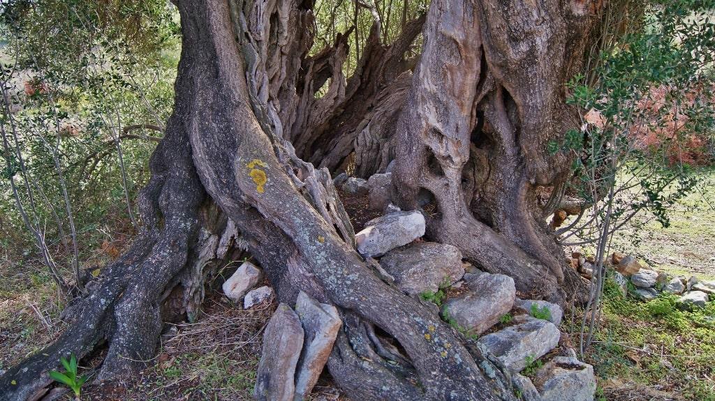 Ancient olive trees on Kythera by Xenonas Fos ke Choros (1)
