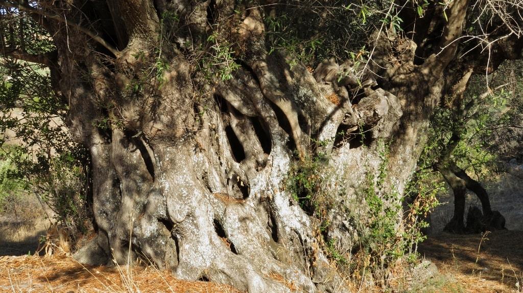 Ancient olive trees on Kythera by Xenonas Fos ke Choros (7)