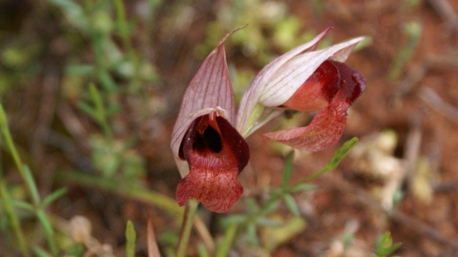 Wild Flowers of Kythera by Xenonas Fos ke Choros (11)