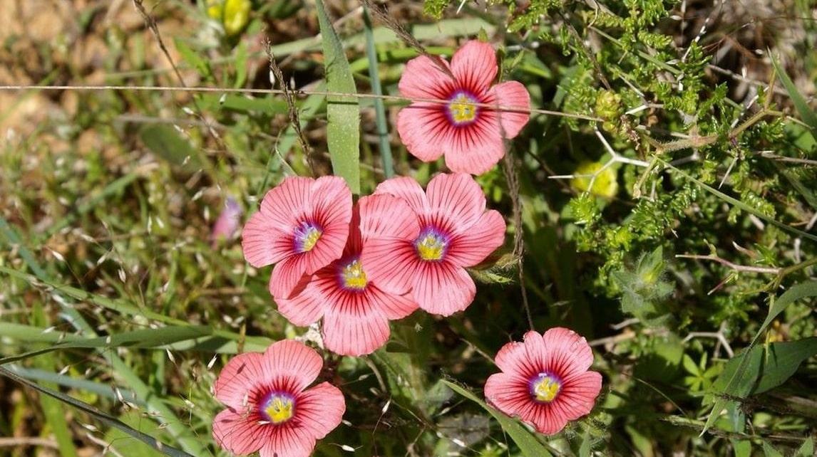 Wild Flowers of Kythera by Xenonas Fos ke Choros (13)