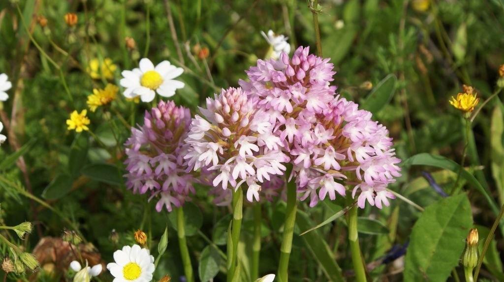 Wild Flowers of Kythera by Xenonas Fos ke Choros (4)