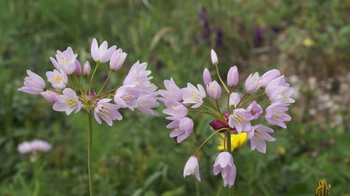 Wild Flowers of Kythera by Xenonas Fos ke Choros (5)