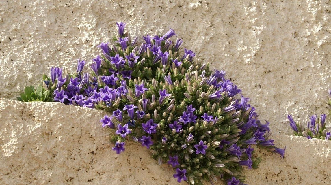 Wild Flowers of Kythera by Xenonas Fos ke Choros (6)