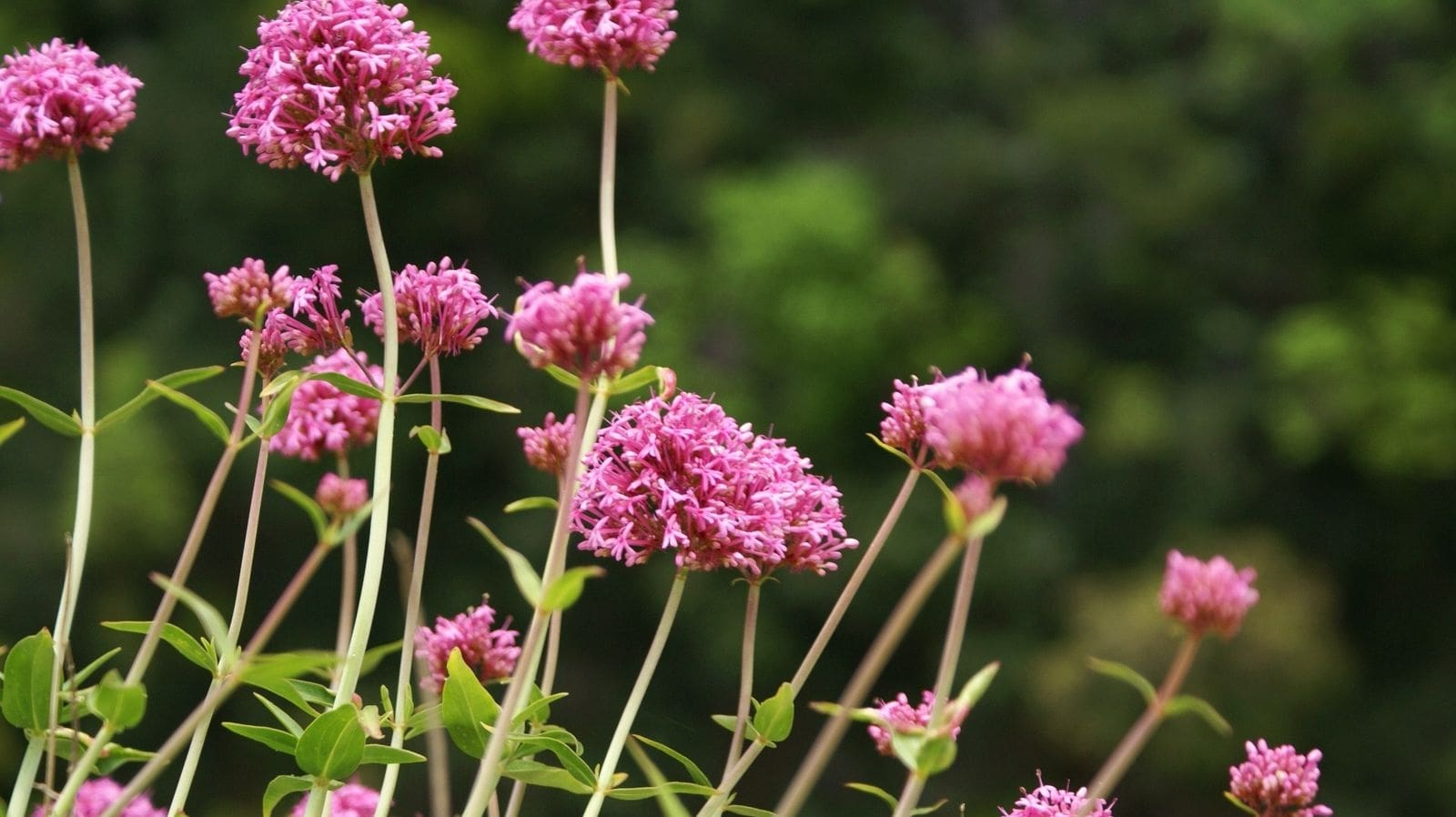 Wild Flowers of Kythera by Xenonas Fos ke Choros (7)
