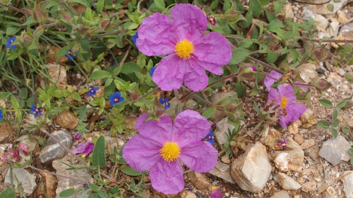 Wild Flowers of Kythera by Xenonas Fos ke Choros (8)