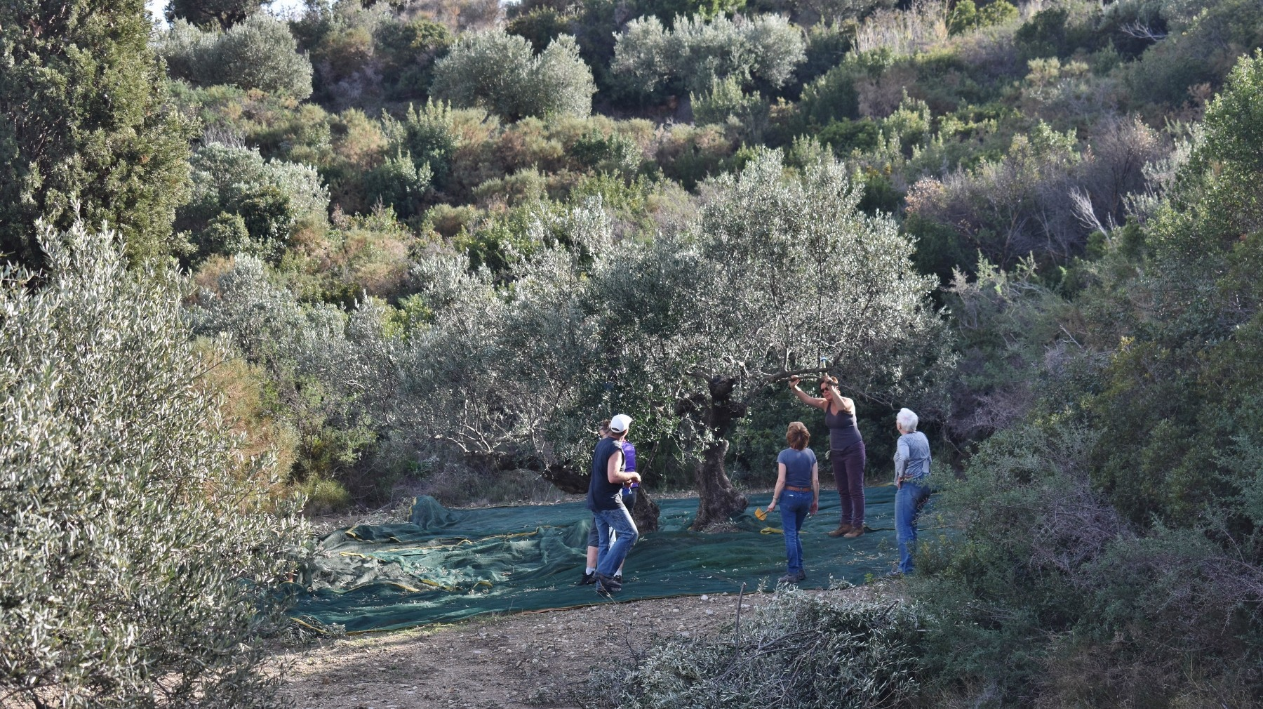 Olive picking on Kythera 5