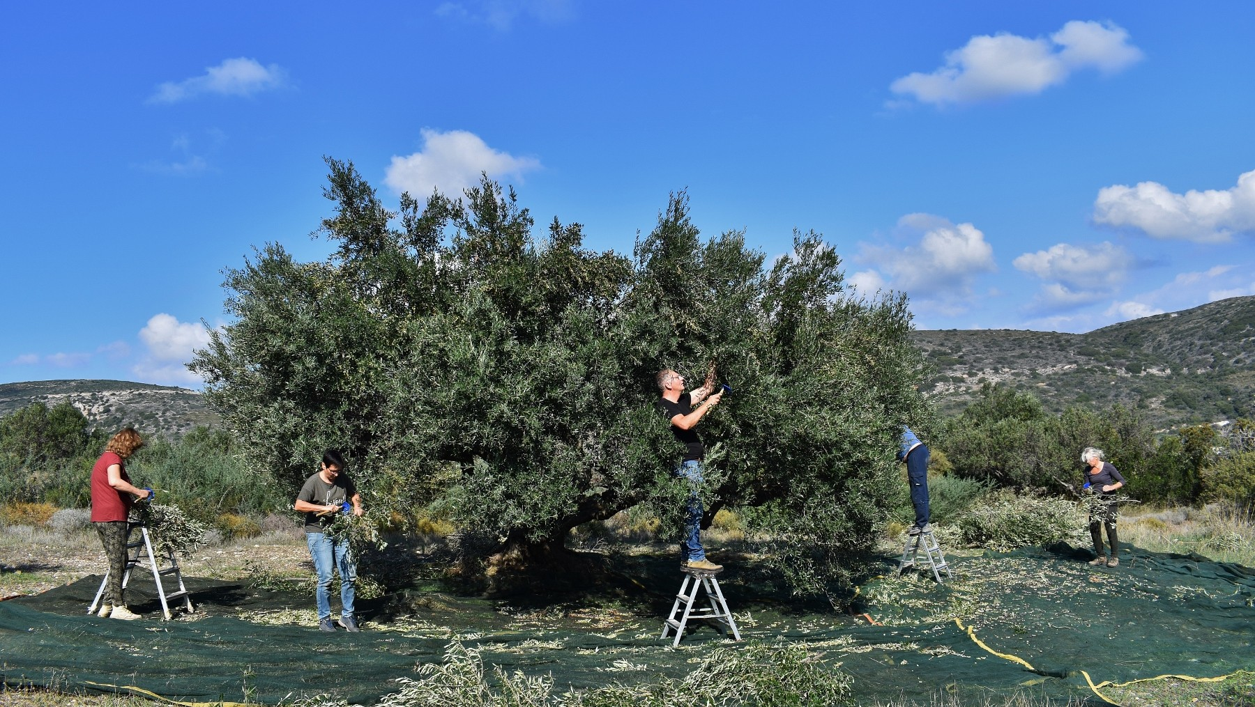 Olive picking on Kythera 1