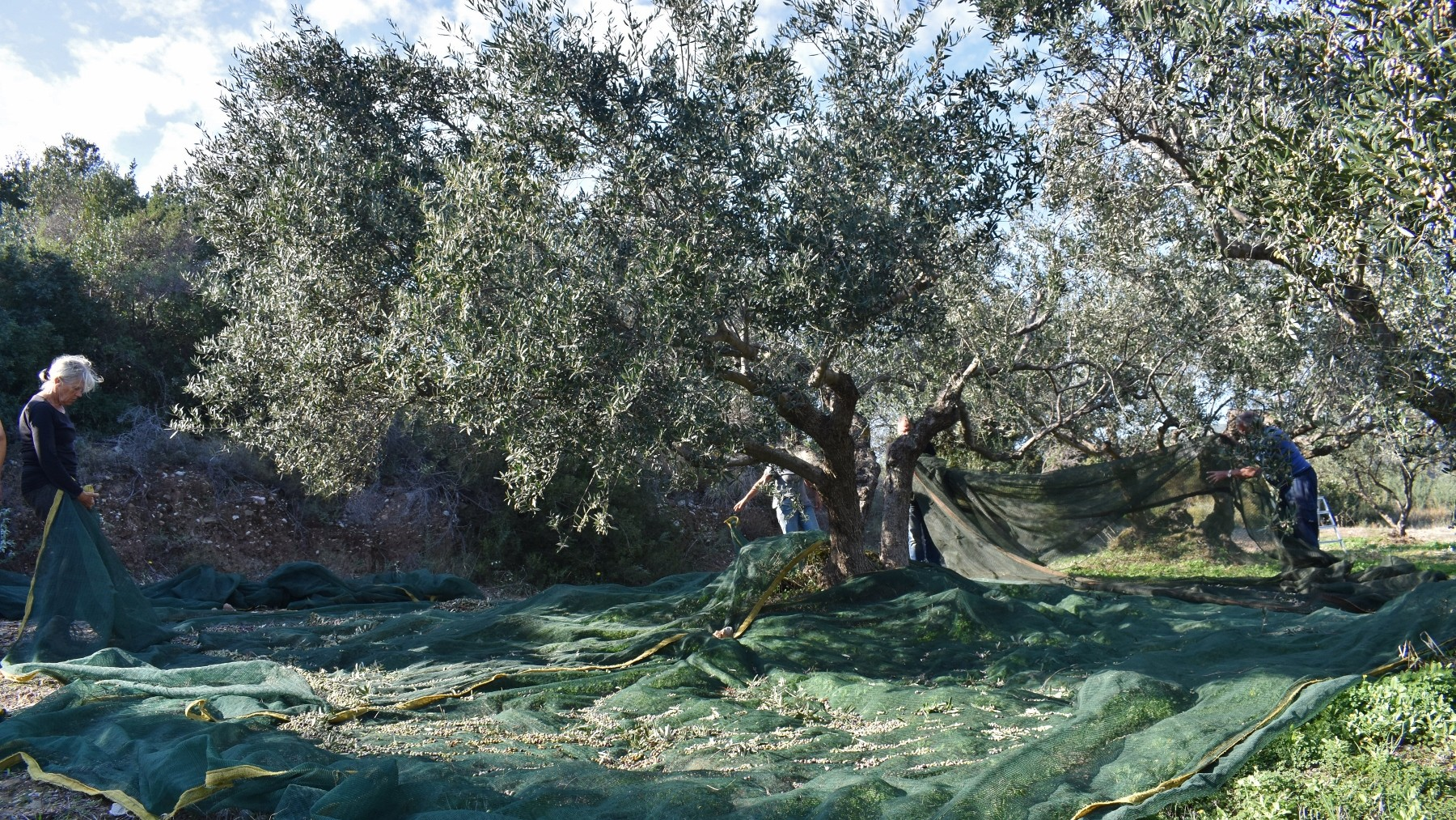 Olive picking on Kythera 8