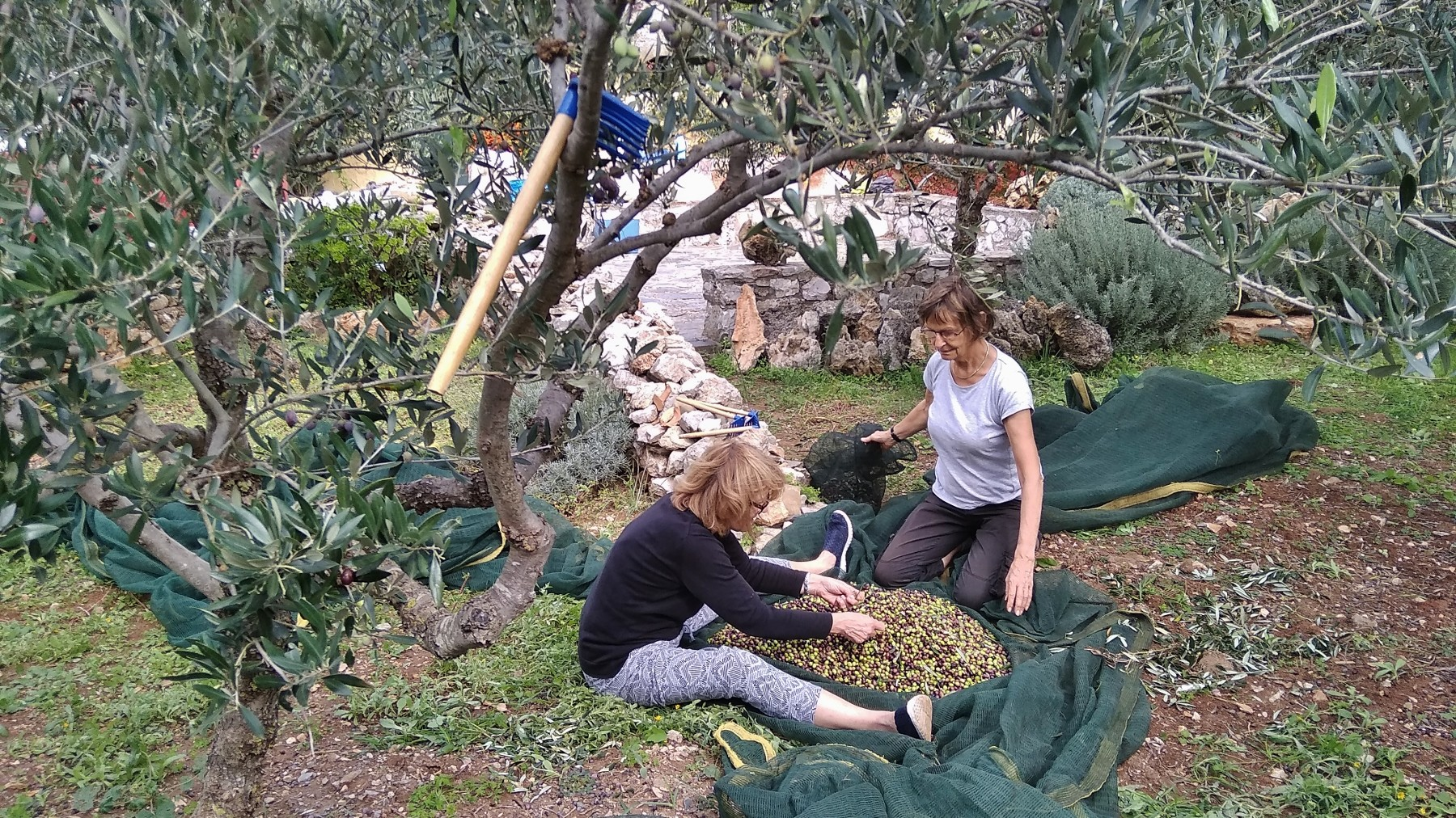 Olive picking on Kythera 7
