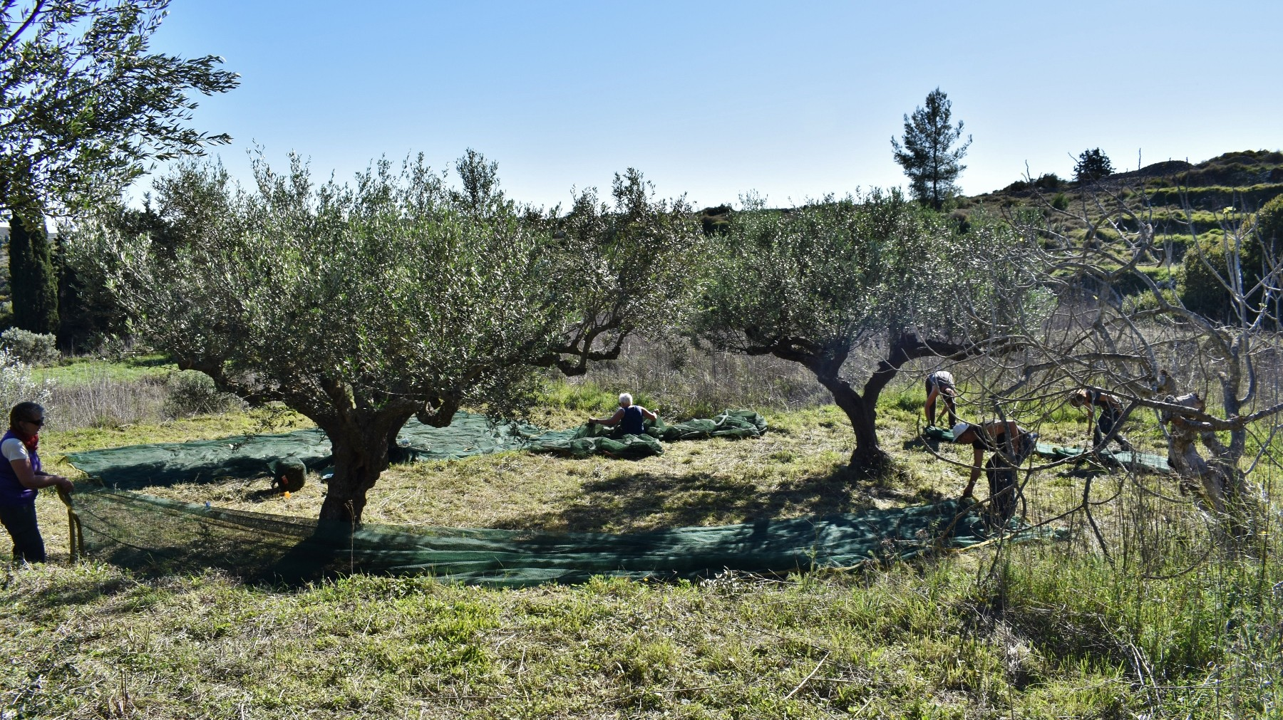 Olive picking on Kythera 6
