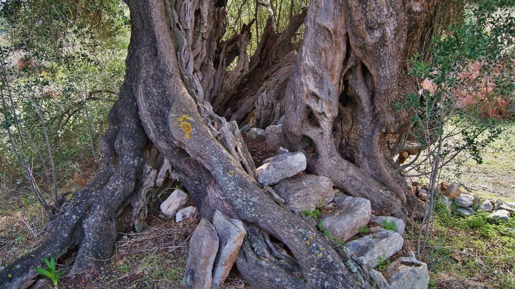 Ancient olive trees on Kythera by Xenonas Fos ke Choros (1)