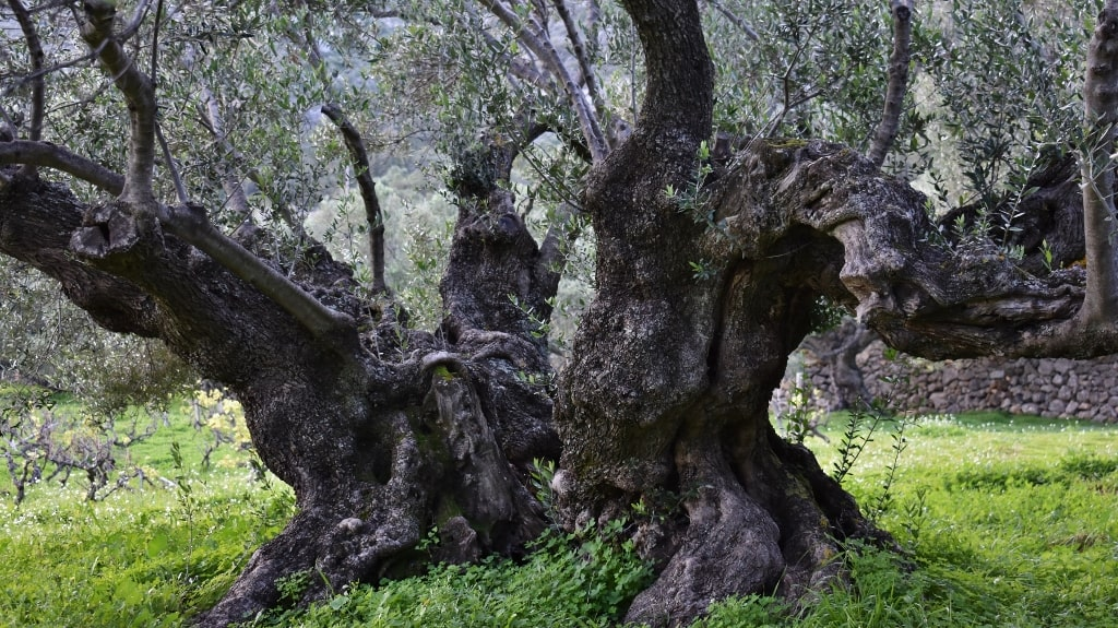 Ancient olive trees on Kythera by Xenonas Fos ke Choros (2)