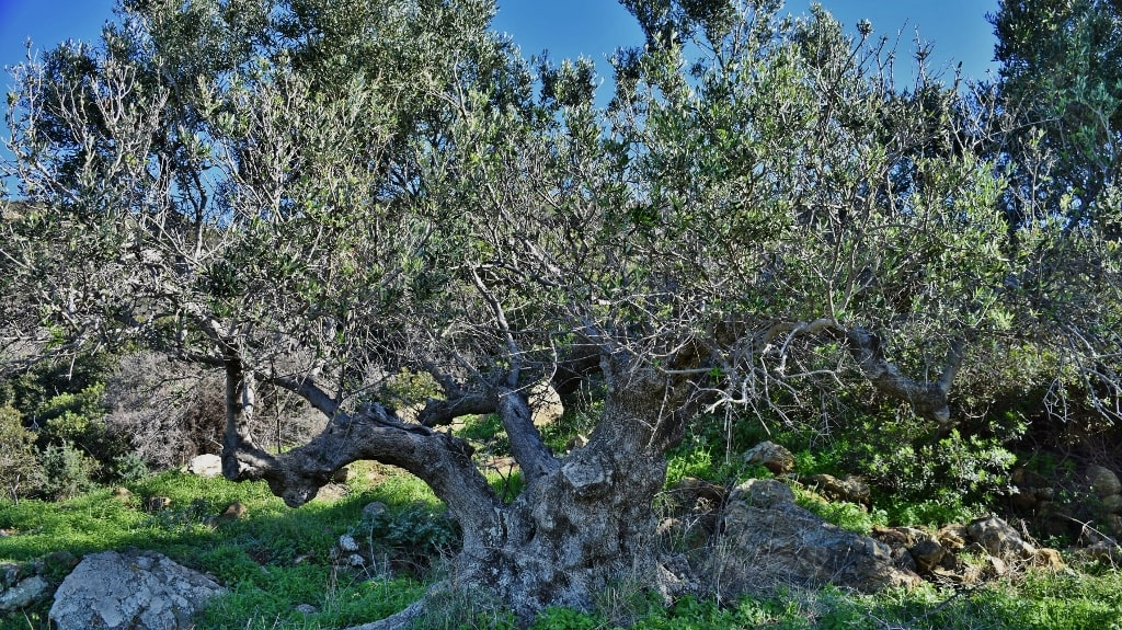 Ancient olive trees on Kythera by Xenonas Fos ke Choros (3)