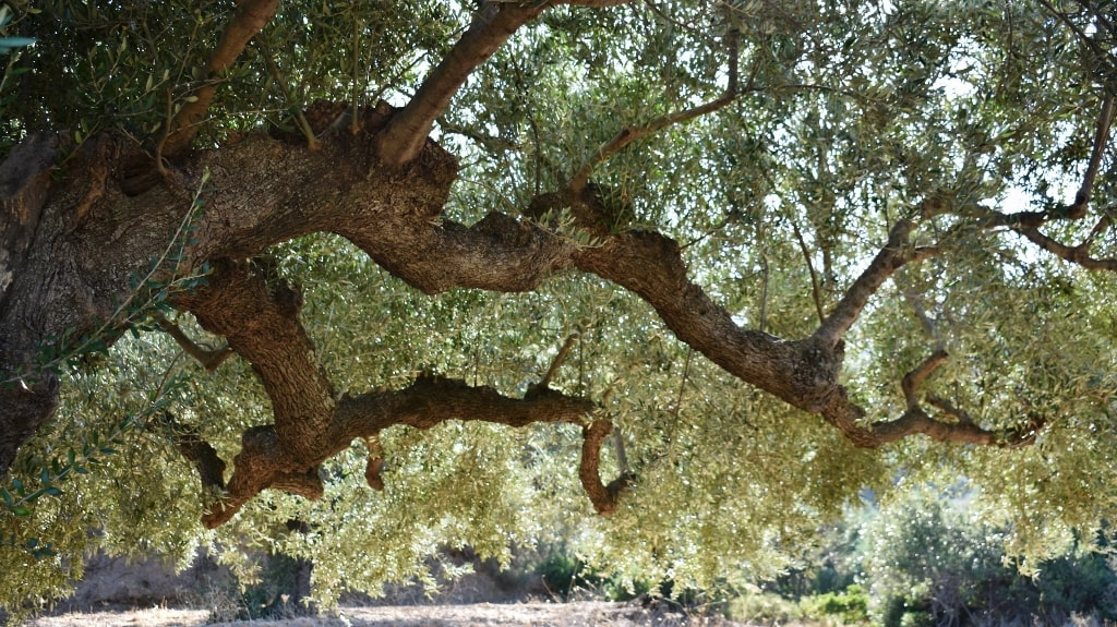 Ancient olive trees on Kythera by Xenonas Fos ke Choros (4)