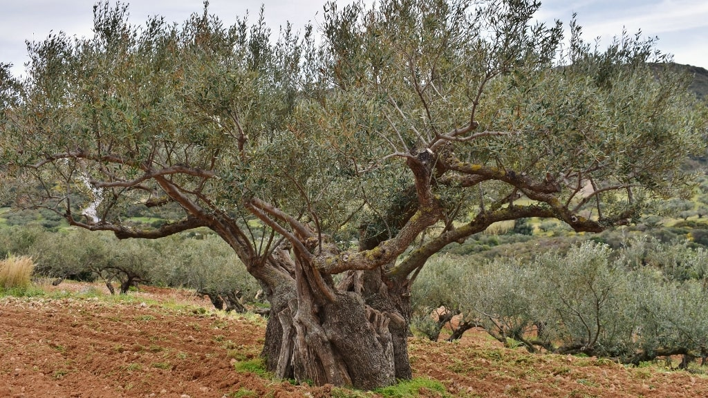Ancient olive trees on Kythera by Xenonas Fos ke Choros (5)
