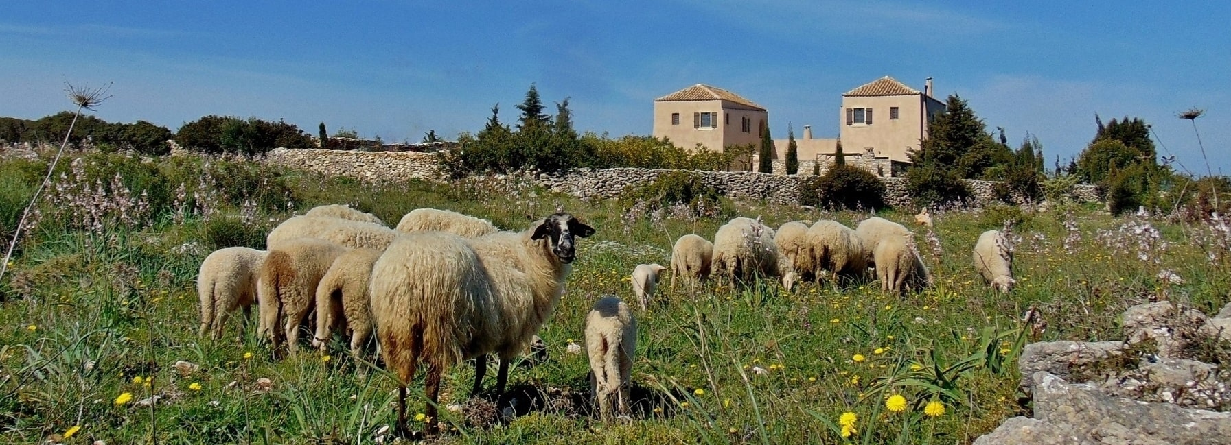 Home - Xenonas Fos ke Choros - sheep around the guesthouse